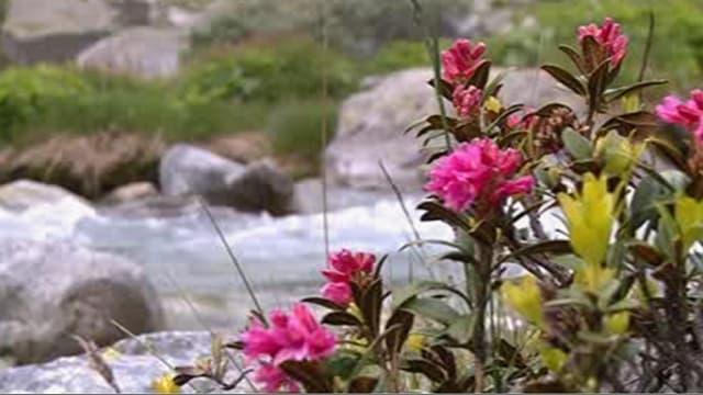 Pinke Blumen am Gletscher