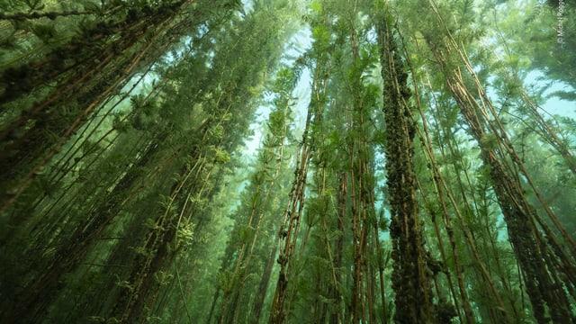 Ein Foto eines Unterwasserwaldes im Neuenburger See.