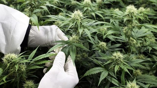 Hände in weissen Handschuhen, Cannabis-Pflanzen