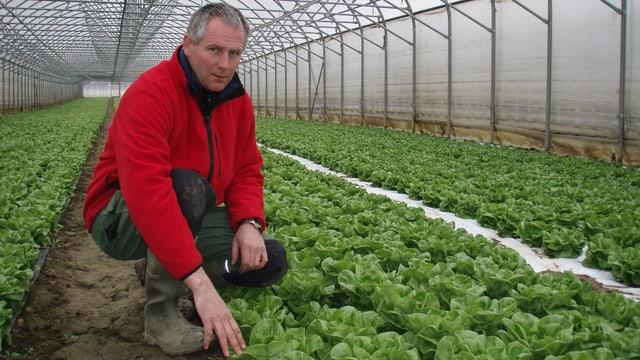 Thomas Käser in einem seiner Gewächshäuser. Der Kopfsalat sollte bereits gepflückt sein.
