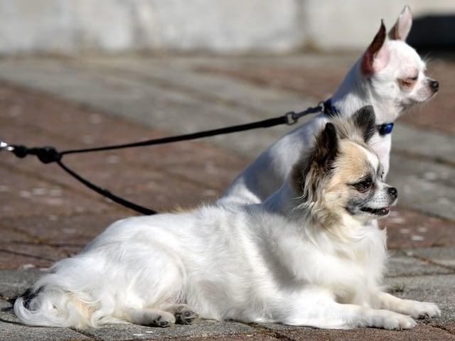 Zwei Chihuahua.