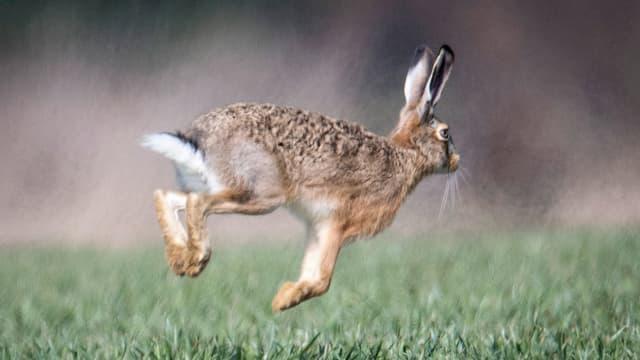 Ein Hase der hüpft