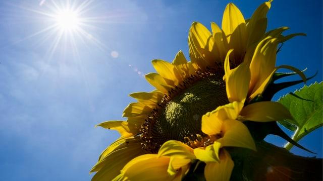 Blütenkopf einer Sonnenblume, im Hintergrund scheint die Sonne