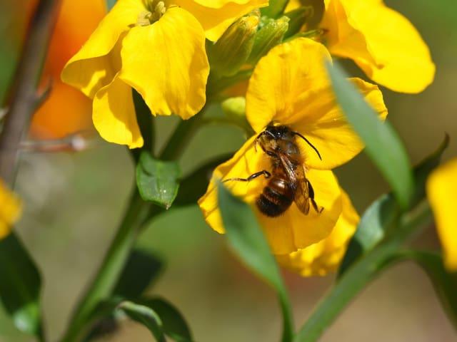 Rote Mauerbiene
