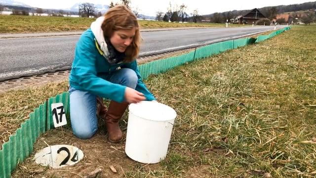 Eine Frau mit einem Eimer sammelt Amphibien ein, die nicht über einen Zaun gekommen sind.