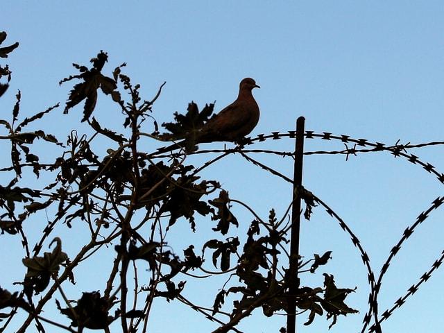Eine Taube sitzt auf einem Stacheldraht.