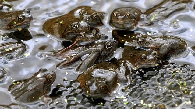 Grasfrösche und Froschlaich