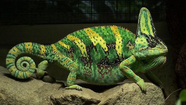 Ein grünliches Jemenchamäleon mit gelblichen Streifen auf Rücken und Schwanz auf einem Stein.