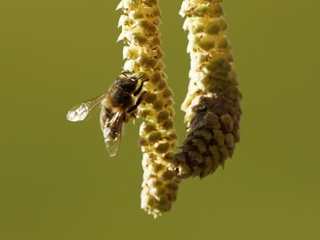 Eine Biene an einem Haselkätzchen.