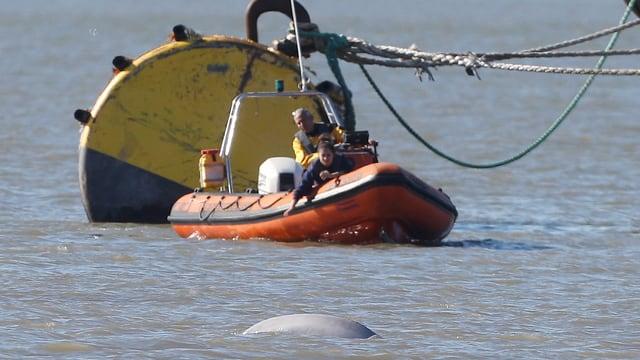 Gummiboot von Seenotrettern vor dem verirrten Beluga-Wal in der Themse.