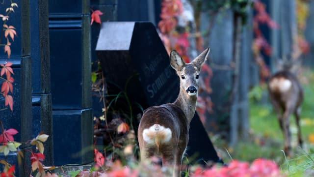 Zwei Rehe wandern zwischen den Grabsteinen des Wiener Zentralfriedhofs umher. Eines der Rehe schaut zurück zur Kamera.