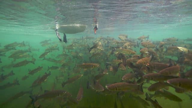 schwan schaut zu fischschwarm unterwasser