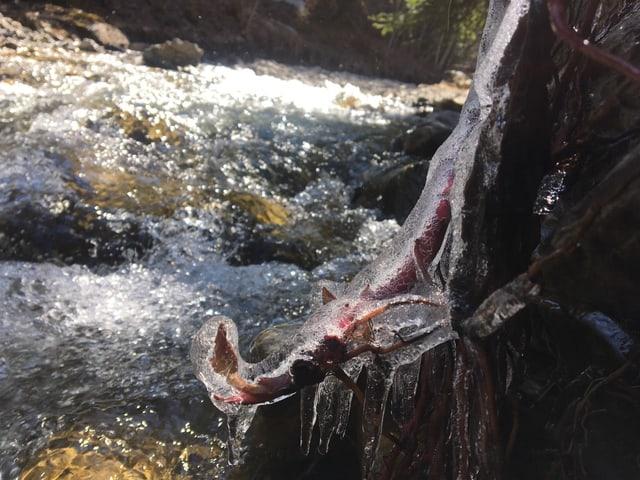Eine Eisschicht überzieht Knospen und Triebe am Ufer des Bachs.
