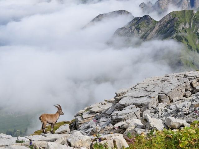 Sonnige Bergspitze mit Steinbock. Unten Nebelmeer. Die Bergkrete ist nur knapp an der Sonne.