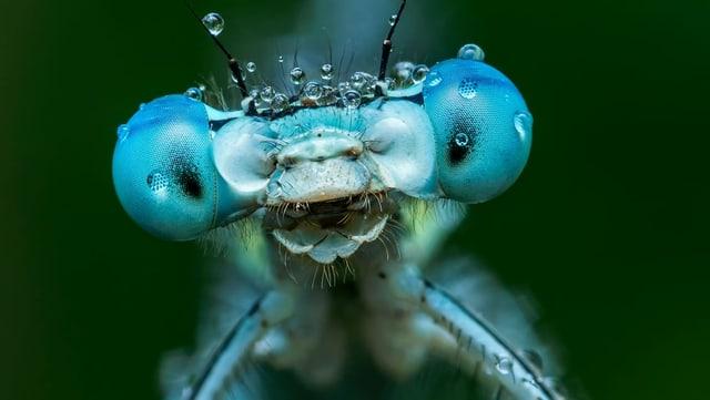 Nahaufnahme einer blauen Libelle