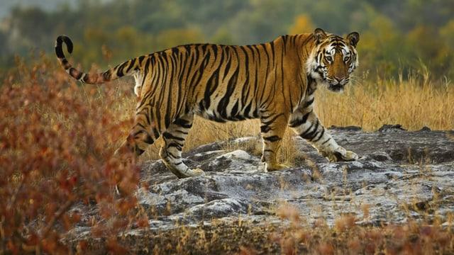 Ein Tiger im Bandhavgarh National Park im Bundesstaat Madhya Pradesh.