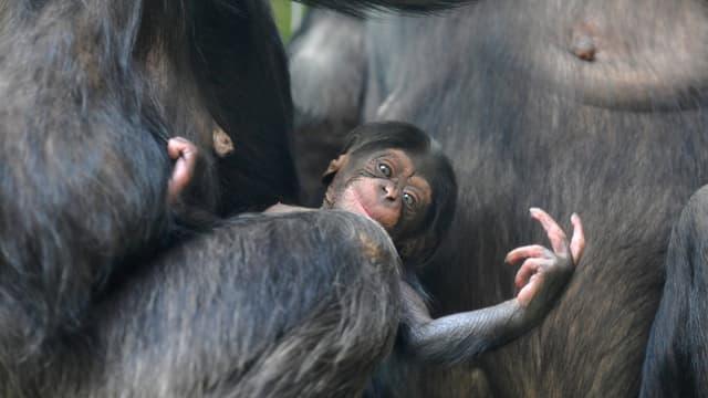 Schimpansenbaby an der Brust seiner Mutter.