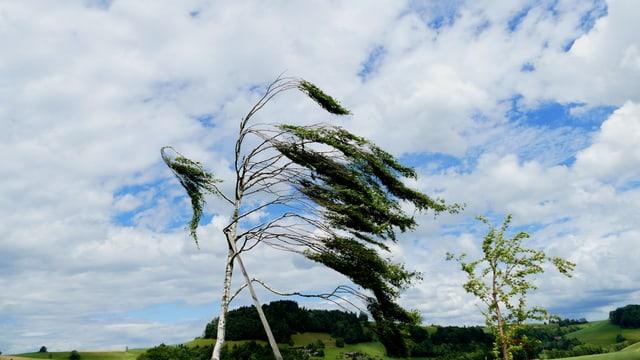 Der Westwind bringt einen Baum in Schieflage.