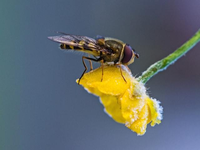 Eine Biene an einer gefrorenen Blume.