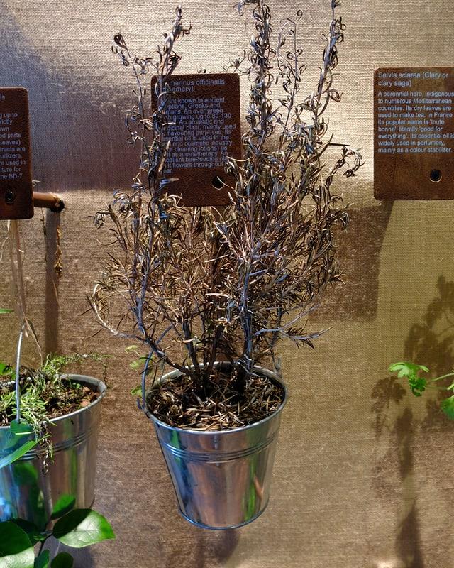 Kübel mit völlig vertrockneter Pflanze.