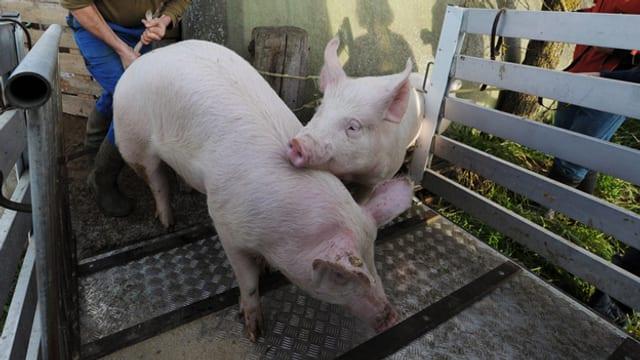 Ein Mann lädt zwei Schweine auf einen Transportwagen.