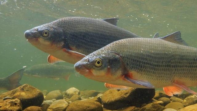 Zwei erwachsene Nasen über dem Flussgrund