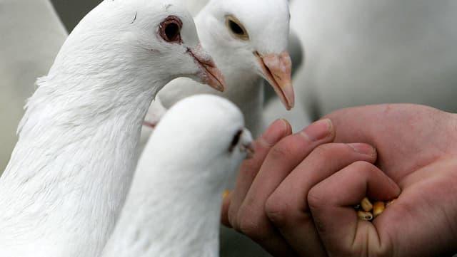 Eine Hand füttert drei weisse Tauben