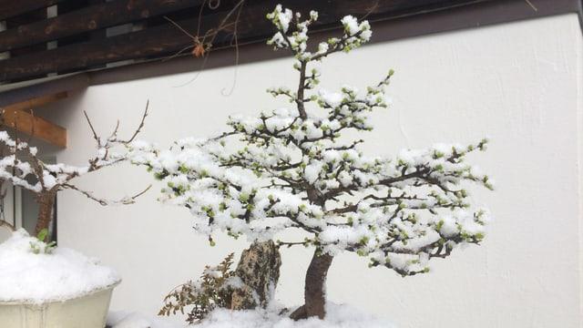 In bonsai en la naiv.