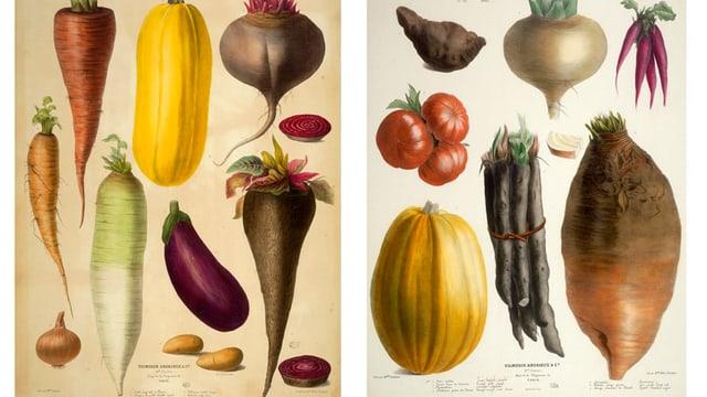 Verschiedene alte Gemüsesorten: Randen, Schwarzwurzeln, Pastinaken, Rüben und andere.