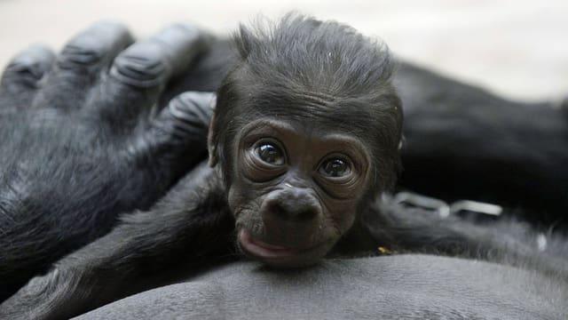 Bild des 12 Tage alten Gorill-Babys im Parger Zoo. Das Junge liegt auf dem Bauch der Mutter und blickt in die Kamera. (keystone)