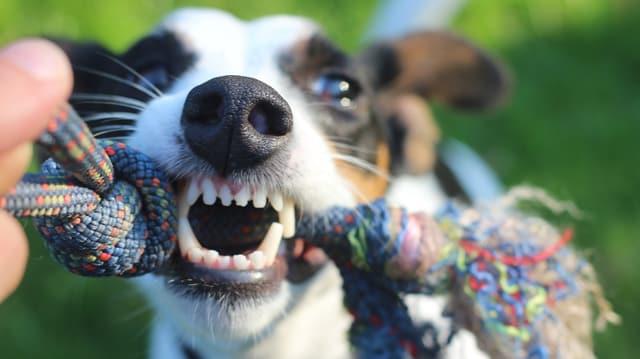 Hund spielt mit seinem Spielzeug