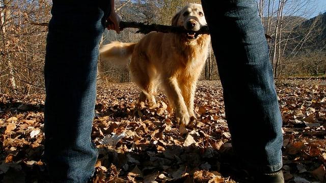 Ein Hund bringt seinem Herrchen auf Boden mit Laub einen Stock.