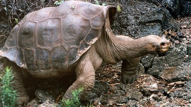 Die Riesenschildkröte Lonsome George: Sie galt bislang als letzter seiner Unterat.