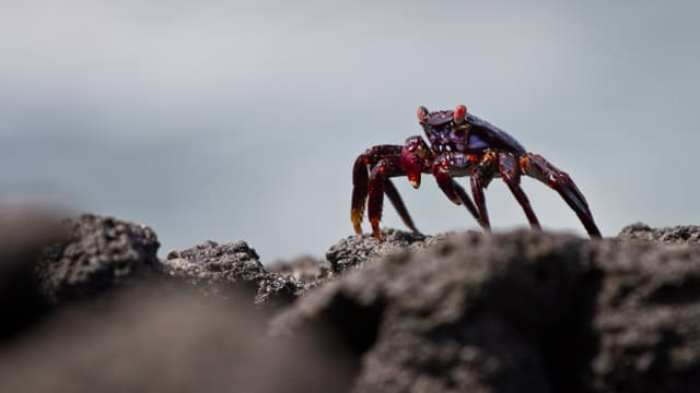 Galapagos-Krebs