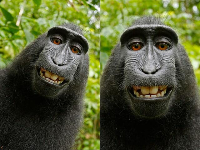 Ein Affe schaut in die Kamera – links noch schräg, rechts dann im leicht gedrehten und zugeschnittenen Bild.
