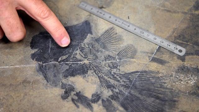 Il fossil halt.