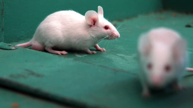 Mäuse müssen für Botox sterben