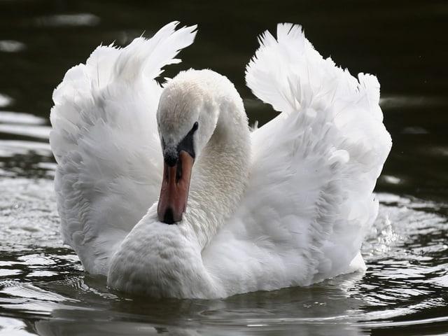 Schwan auf einem See.