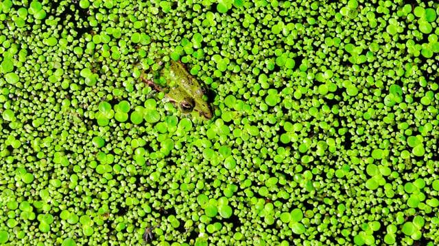 Ein Frosch schwimmt durch Wasserlinsen.