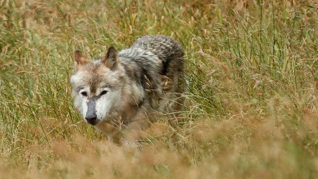 Ein Wolf schleicht über eine Wiese.
