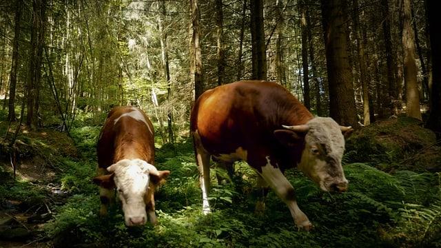 Zwei Kühe im Wald.