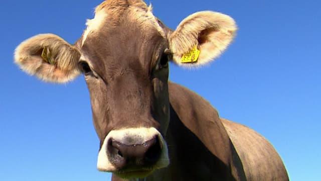 Video «NETZ NATUR «Kuh-Schweiz?» (Schweizerdeutsch)» abspielen