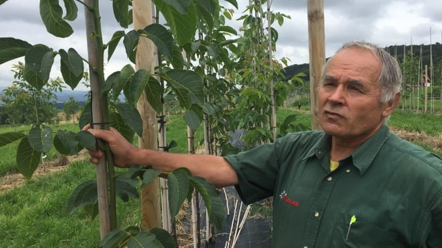 Heinrich Gubler auf der Plantage seines Sohnes in Herdern (TG), wo die Sorte «Lara» angebaut wird.