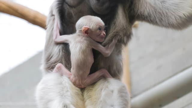 Ein kleines, mageres Äffchen mit rosaroter Haut, die durch das helle Fell schimmert, klammert sich an den Körper eines grösseren Affen.