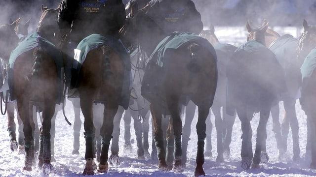 Chavals da polo sin viadi enavos en stalla.