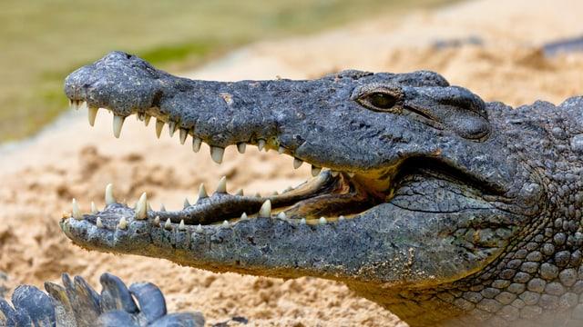 Kopf eines Krokodils, sperrt das Maul auf.