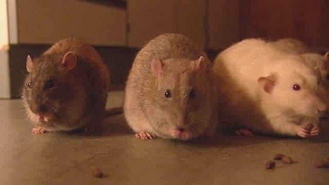 Drei Ratten der holländischen Polizei