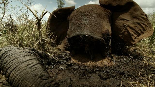 Kadaver eines Elefanten