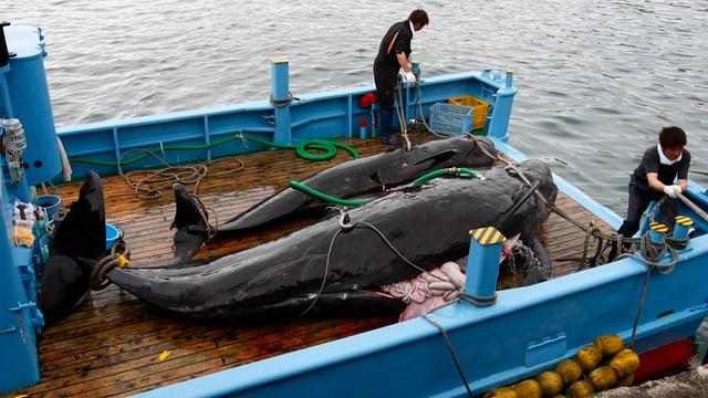 Zwei tote Wale auf einem Schiff liegend