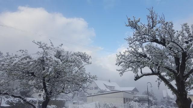 Schnee auf den blühenden Obstbäumen.